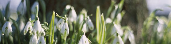 Galanthus nivalis Viridapice, common snowdrop, growing in the garden at Kingston Lacy, from January onwards.