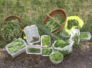 A harvest of spring greens